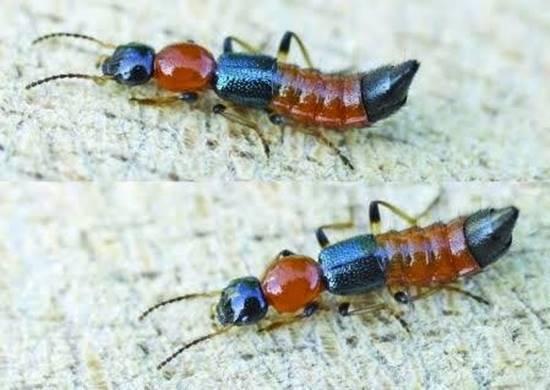 เตือนภัย ! แมลงก้นกระดก หรือแมลง Freshy ระบาดหน้าฝน พิษแรง แผลไหม้ลามเร็ว