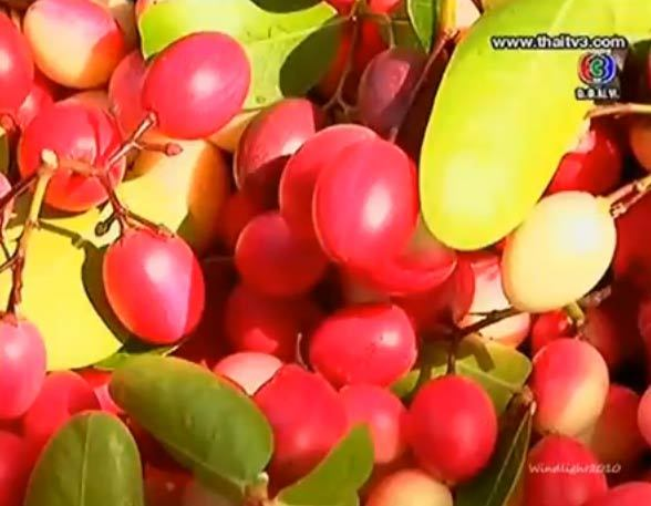 พาชมสวนมะม่วงหาว มะนาวโห่
